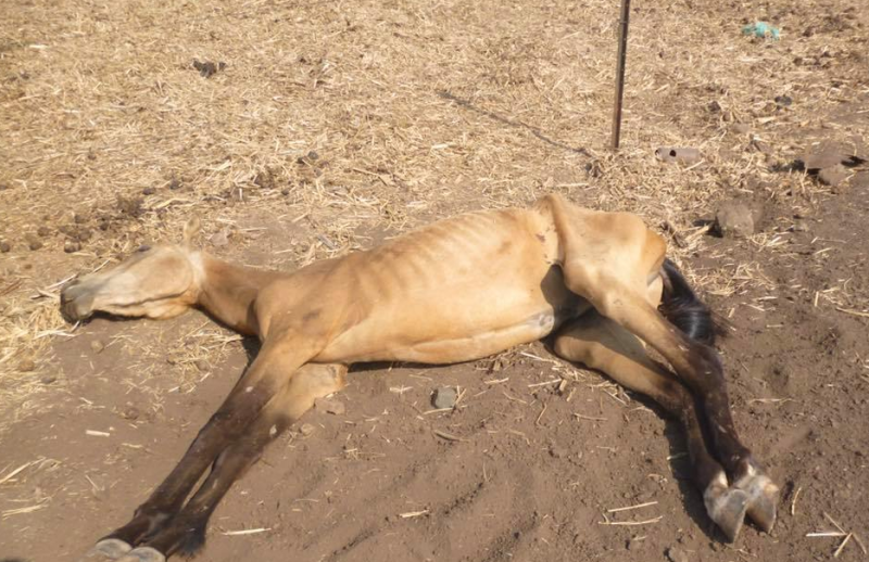 Seen is one of the horses dead on the ground at Gowrie Mountain. Source: Facebook