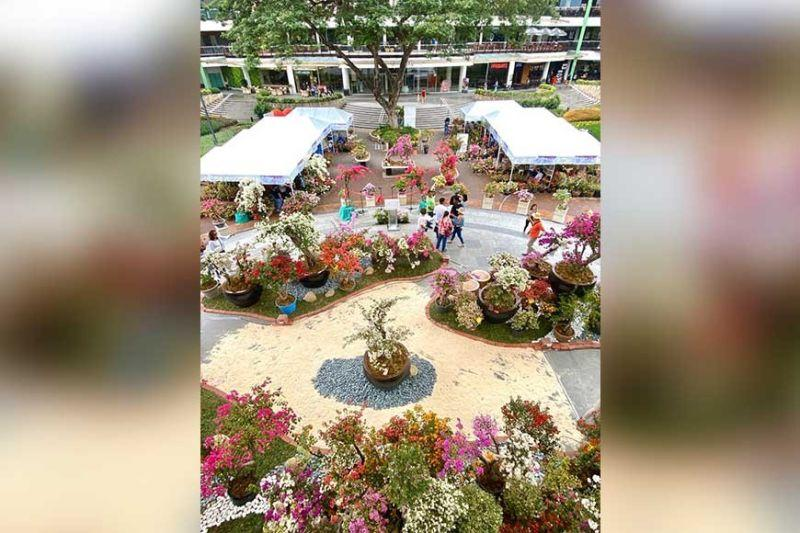 Bougainvilleas blooming at Ayala Center Cebu