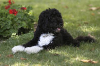 FILE - In this June 8, 2011, file photo first dog Bo enjoys a nap in a shady spot on the South Lawn of the White House in Washington. Former President Barack Obama's dog, Bo, died Saturday, May 8, 2021, after a battle with cancer, the Obamas said on social media. (AP Photo/Carolyn Kaster, File)