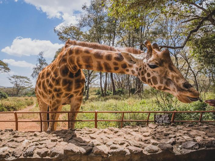 A Giraffe Center in Kenya.