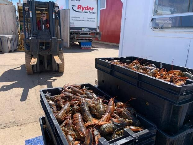 A forklift operator on the wharf at North Lake, P.E.I., prepares to lift crates of fresh live lobster onto a refrigerated truck.