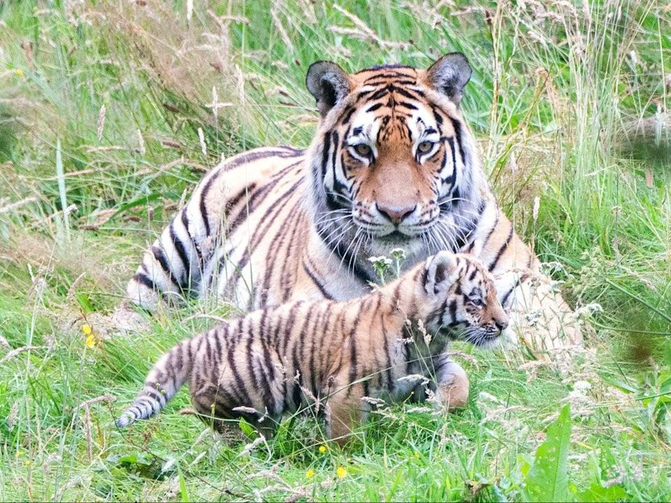 There are around 700 Amur tigers left in the wild   (PA)