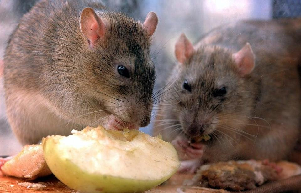 Stock image of rats  (PA Archive)