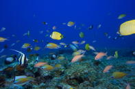 FILE - In this Sept. 6, 2017 photo provided by the National Oceanic and Atmospheric Administration (NOAA), fish swim in a reef at Pearl and Hermes Atoll in the Northwestern Hawaiian Islands. A decade-long effort by the world to save the world's disappearing species and declining ecosystems has mostly failed so far, with fragile ecosystems like coral reefs and tropical forests in even more trouble than ever, according to a United Nations biodiversity report released on Tuesday, Sept. 15, 2020. (Jacob Asher/NOAA via AP)