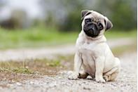"""<p>Pugs can <a href=""""https://www.akc.org/dog-breeds/pug/"""" rel=""""nofollow noopener"""" target=""""_blank"""" data-ylk=""""slk:get to be 14 to 18 pounds"""" class=""""link rapid-noclick-resp"""">get to be 14 to 18 pounds</a>, according to the AKC, and they stand at 10 to 13 inches tall. The AKC also says that the pug's motto is """"a lot in a little"""" in Latin, which fits this tiny, personable breed to a tee.</p>"""