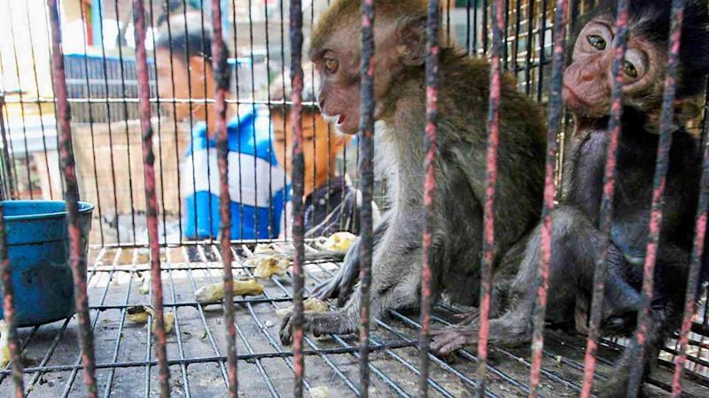 Two infant long-tailed macaques are for sale at a pet market in Medan, Indonesia, a known hub of the live animal trade. Image: EPA