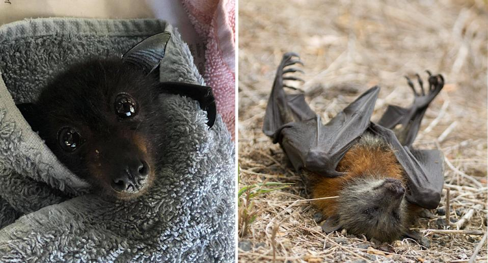 Dale, the bat on the left, was caught on a fence and was distressed as dogs looked on, the Currumbin Wildlife Hospital Foundation said. Right, a bat can be seen lifeless on the ground. Source: Facebook/ Currumbin Wildlife Hospital Foundation & Bats QLD