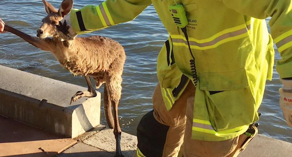The animal appeared to be healthy when it was rescued. Source: @QldFES/ Twitter