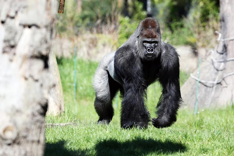Gorilla Captured After Escaping From London Zoo