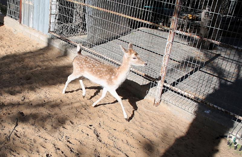 Of hundreds of animals bought for Khan Yunis zoo's 2007 opening, the only survivors are the last deer of its herd, a pelican, an ostrich, two porcupines and the tiger (AFP Photo/Said Khatib)
