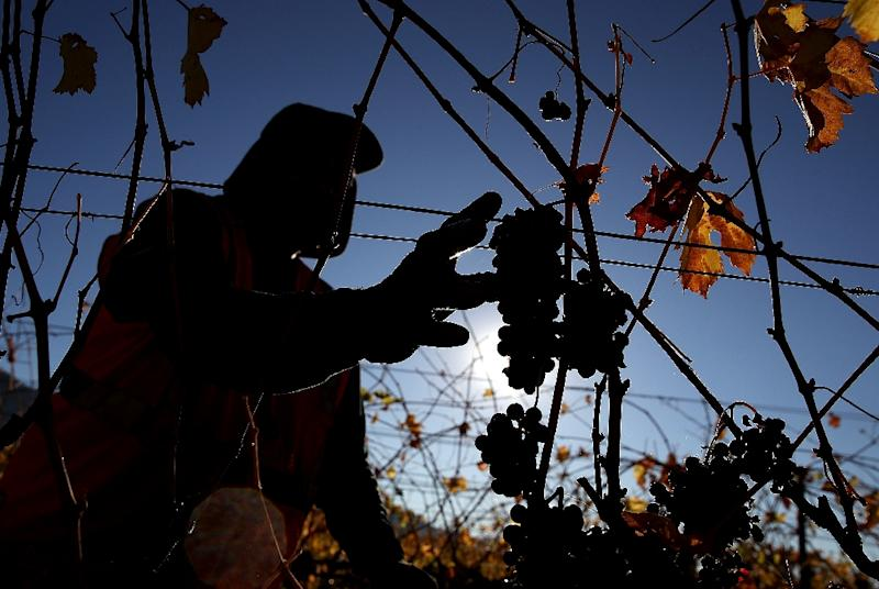 A worker reaches for grapes during a harvest operation in October 2017 in Kenwood, California (AFP Photo/JUSTIN SULLIVAN)
