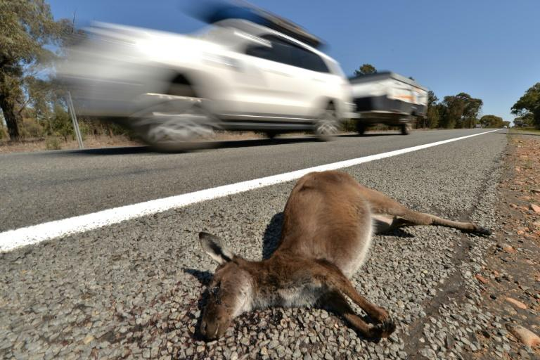 Teen driver charged after 20 kangaroos allegedly mowed down
