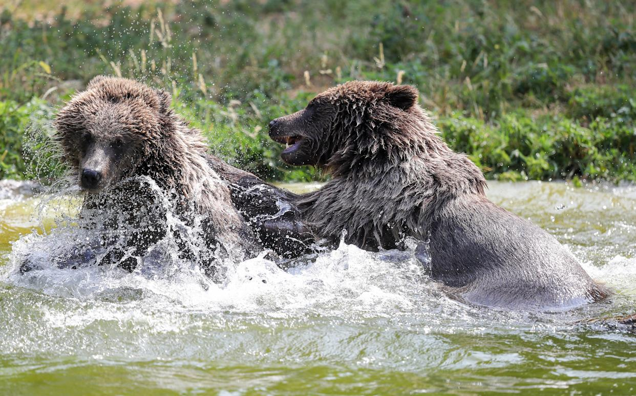 Two European Brown bears cool off in the pool in their enclosure at ZSL Whipsnade Zoo. (Photo by Andrew Matthews/PA Images via Getty Images)