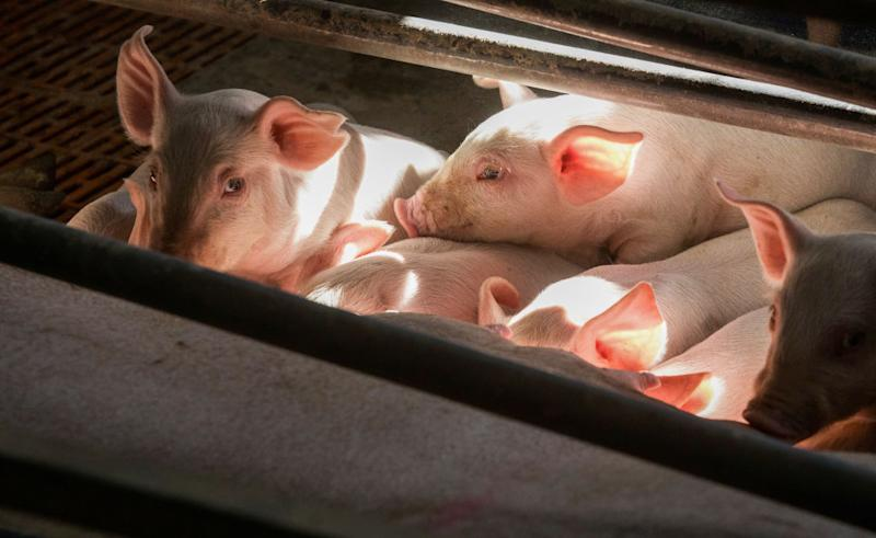 Piglets suckle on their mother in a farrow pen at a farm in Driffield, U.K., on Friday, July 31, 2020. The U.K.'s farming industry sends about two-thirds of its exports to the EU, which would be subject to steep tariffs under a no-deal Brexit. Photographer: Chris Ratcliffe/Bloomberg