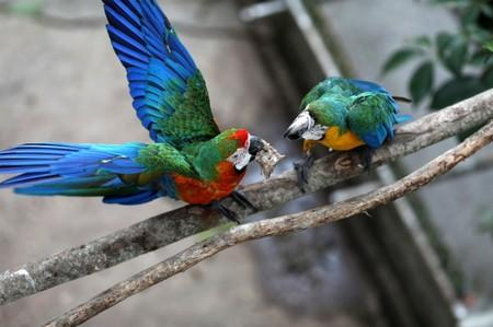 Two macaws fight for a chicken head at Vittorio Poggi's house outside Caracas