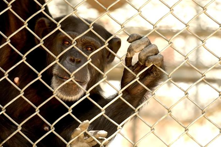 SYLMAR, CA - JULY 14, 2020 - - One of the 32 chimpanzees that still resides at the shuttered Wildlife Waystation on World Chimpanzee Day in the Angeles National Forest in Sylmar on July 14, 2020. The fate of the chimpanzees is uncertain because reputable sanctuaries willing to take them lack the funding needed to give the animals permanent new homes, officials say. The challenge now is finding the roughly $7 million it will take to build accommodations for the chimps at four reputable sanctuaries across the nation. A fundraiser was announced to help the sanctuaries take on these chimpanzees and to assist with the current care expenses of the primates while they wait at the Wildlife Waystation. More than 500 exotic animals including lions, tigers, alligators, wolves, owls and Vietnamese pot-bellied pigs have been relocated since the troubled 44-year-old center surrendered its California Department of Fish and Wildlife permits and shut down a year ago. (Genaro Molina / Los Angeles Times)