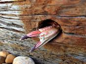 <p>A crab's claw sticks out from a piece of wood washed up on a stoney beach in Eastbourne. (Image: Jen Thorpe)<br><br></p>