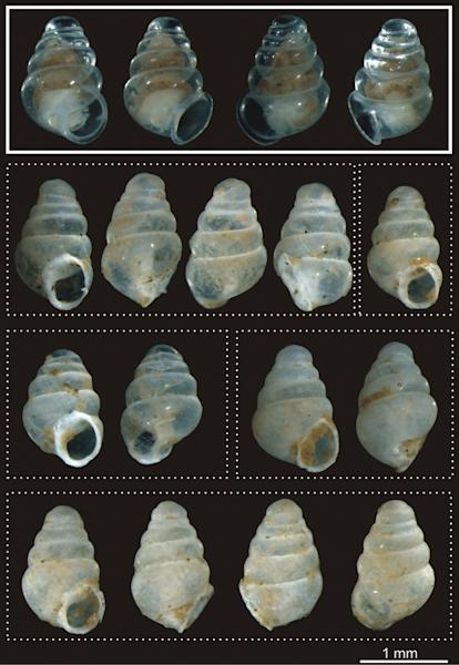 Different views of the living specimen (solid border) and empty shell (dotted border).