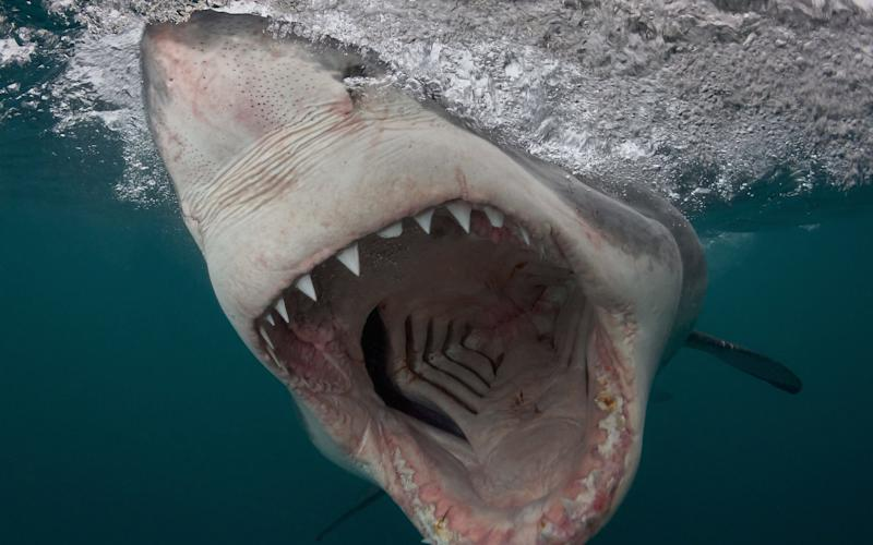 Great White Shark charges in South Africa, taken with a pole camera.  - Chris Perkins © SWNS.com
