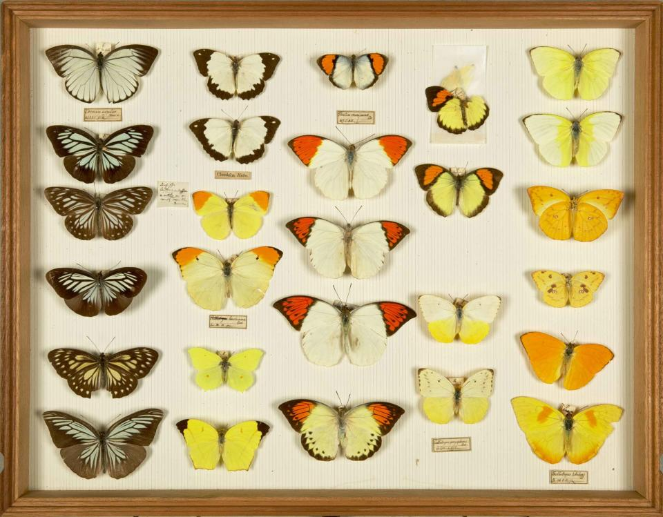 Alfred Russel Wallace's insects – a rare personal collection, assembled in Southeast Asia, 1854–1862. Wallace, who is credited with the co-discovery of the theory of evolution by natural selection, kept very few of the specimens he collected. (Natural History Museum)