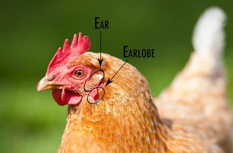 The chicken's earlobe sits just below its ear, which you may not have noticed. (Photo: Getty Images)