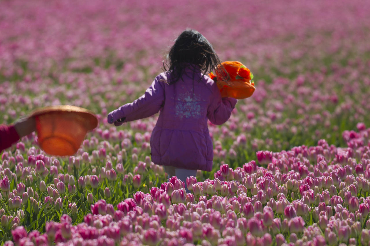 A child runs through fields of blossoming tulips near Noordwijk, western Netherlands, Sunday April 22, 2012. Holland is the world's main producer of commercially sold tulip plants, producing as many as 3 billion bulbs annually, about two thirds are for export. (AP Photo/Peter Dejong)