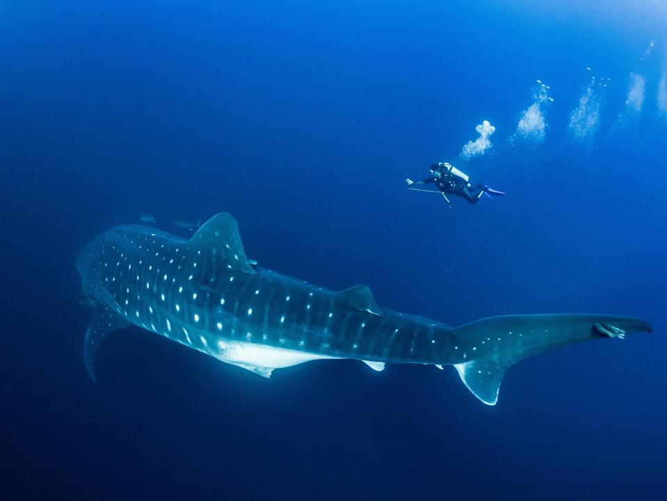 Marine Megafauna Foundation's research program was initially founded in 2009 to protect and conserve whale sharks.