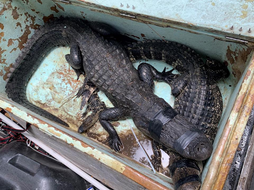 A female alligator measuring more than 8-feet long, pictured on top, was captured alive at Halpatiokee Park after it bit a man who fell from his bicycle. Two other gators in the bin were from residential stops trapper John Davidson made before arriving at the park.