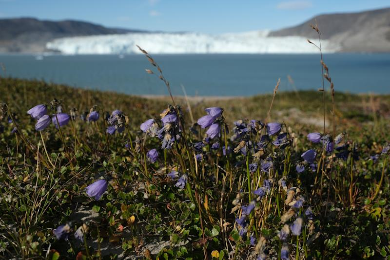 Flowers called arctic harebell (campanula uniflora) stand across from the Eqip Sermia glacier during unseasonably warm weather at Eqip Sermia, Greenland. (Photo: Sean Gallup/Getty Images)