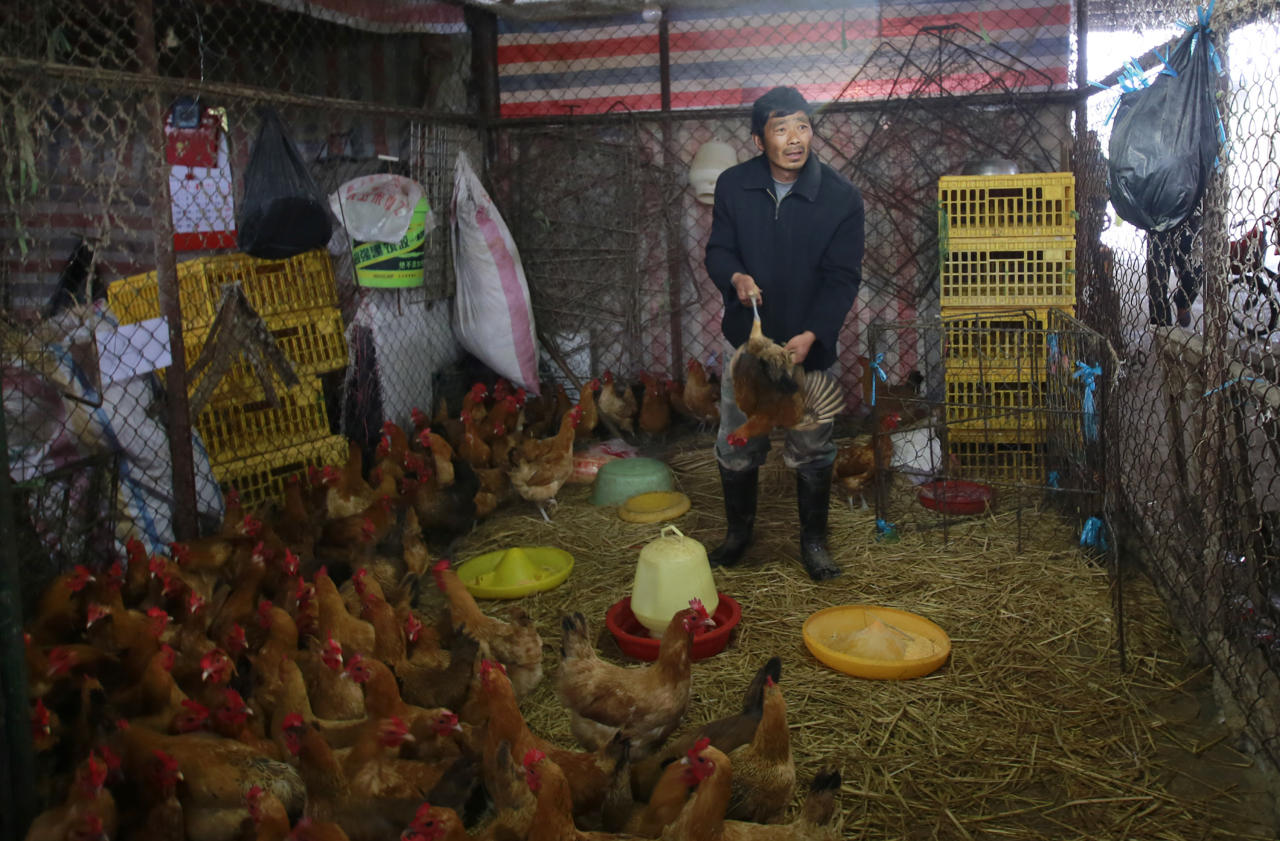 A worker catches a live chicken at a poultry market in Shanghai, China on Friday, April 5, 2013. China announced a sixth death from the new bird flu H7N9 strain Friday, while authorities in Shanghai halted the sale of live fowl and slaughtered all poultry at a market where the virus was detected in pigeons being sold for meat. The first cases were announced Sunday. (AP Photo)