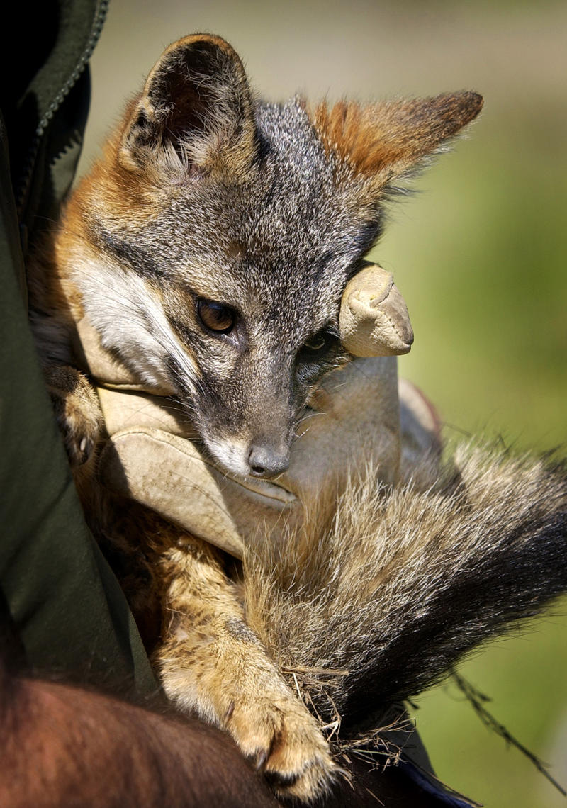 FILE - This March 4, 2004 file photo shows a Santa Cruz Island fox bred in captivity being held by a wildlife biologist for the National Park Service, on Santa Cruz Island in Channel Islands National Park, Calif. More than a thousand tiny island foxes live free on the largest of the Channel Islands off the Southern California coastline where less than a decade ago only a few dozen remained. The rapid turnaround in the population of the fox native to this island, which is also a national park, comes after years of intense intervention from biologists who toiled to stop an unnatural ecological cycle that involved three different species.  (AP Photo/Reed Saxon, File)