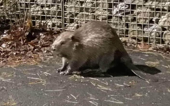 Police officers shared a photo of the runaway beaver in Plymouth on Twitter - SWNS