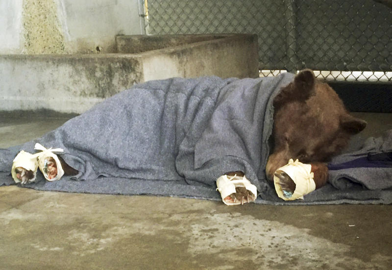 FILE - This Jan. 2018 file photo provided by the California Department of Fish and Wildlife shows a bear, injured in a wildfire, resting with its badly burned paws wrapped in fish skin - tilapia - and covered in corn husks during treatment at the University of California, Davis Veterinary Medical Teaching Hospital in Davis, Calif. Two female bears badly burned in a wildfire are back home in the Los Padres National Forest. KABC-TV reports recent photos and GPS tracking show the bears are moving around and in good health in the forest after suffering burn injuries in December from a massive wildfire that affected Ventura and Santa Barbara counties. The bears were released back into the wild in January. (California Department of Fish and Wildlife via AP, File)