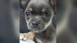 Fudge, the beloved chihuahua puppy that was taken by a crow. Photo: 7 News
