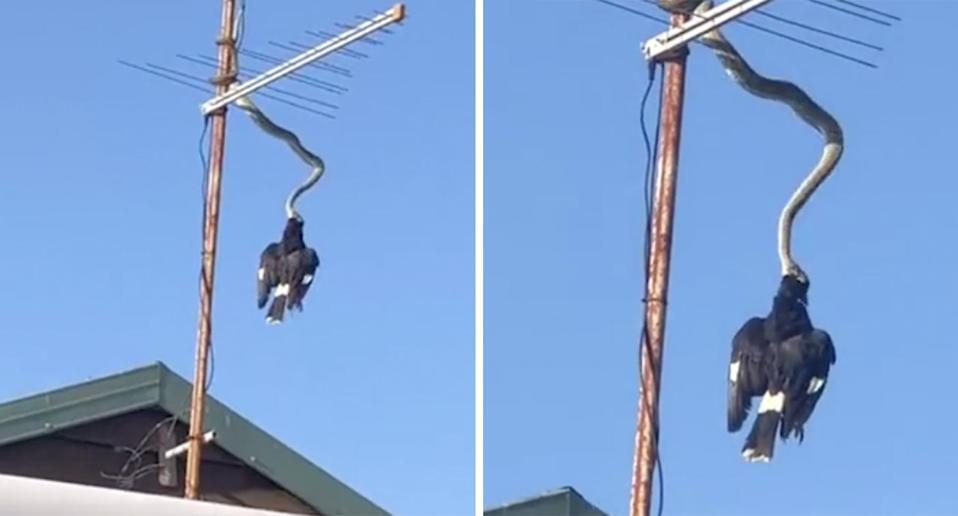 A python hangs from an antenna to eat a currawong on the roof of a home in Kingscliff, NSW. Source: Cathy Gall/Facebook