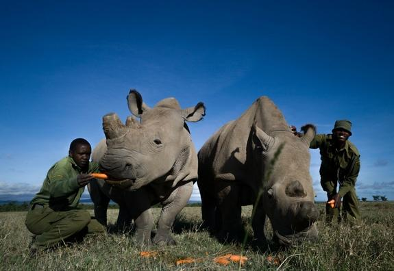 Najin and Fatu are two of the four remaining female northern white rhinoceroses left.