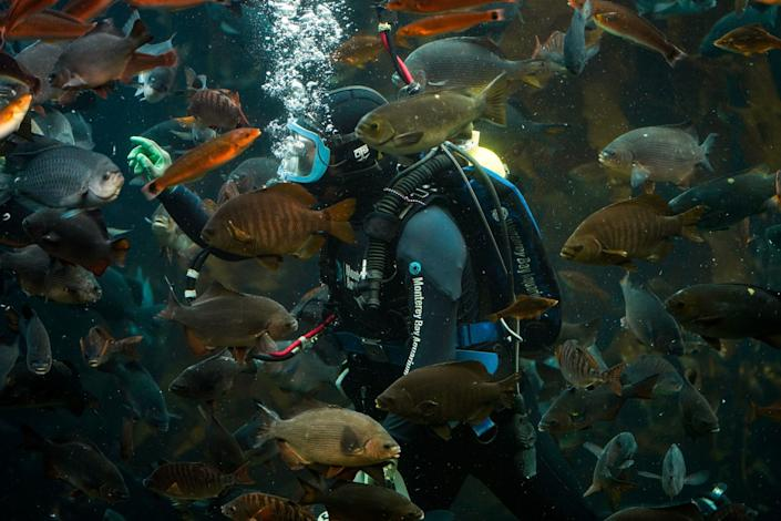 """Social media content creator Patrick Webster livestreams from the Kelp Forest tank at the Monterey Bay Aquarium. The Cannery Row landmark has been closed until further notice because of the COVID-19 pandemic. <span class=""""copyright"""">(Kent Nishimura / Los Angeles Times)</span>"""
