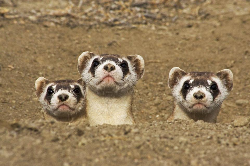 <p><strong>Black-Footed Ferret - </strong>This ferret is native to the Great Plains area and has had multiple restoration efforts to bring back its population. Hopefully these efforts pay off and rebound the ferrets numbers. </p>