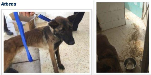 Athena was 2-years old when she arrived in Jordan in May 2017. Less than a year later she was found to be severely emaciated, and she returned to the U.S. in April 2018 for treatment. She made a full recovery. Her kennel with dirt and feces on the floor is shown on the right, along with a bowl that had no water. (Photo: oversight.gov)