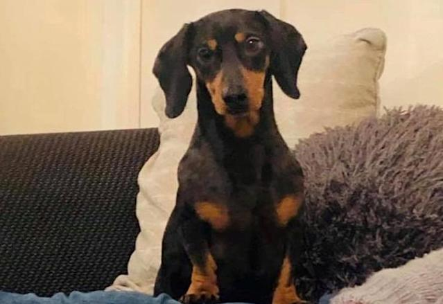 Frank the daschund jumped on a bus and made an 18-mile trip to the seaside on his own. (Picture: SWNS)