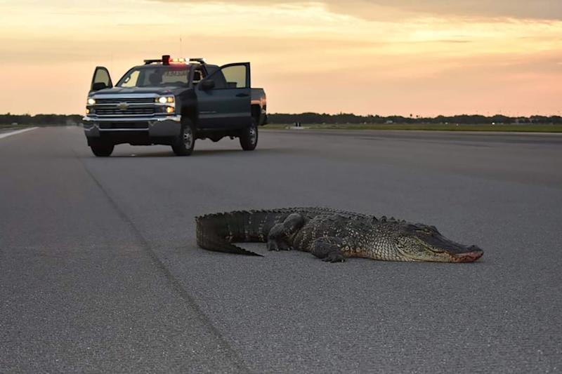 An alligator lies on a runway tarmac before being safely carried off the property of MacDill Air Force Base in Tampa