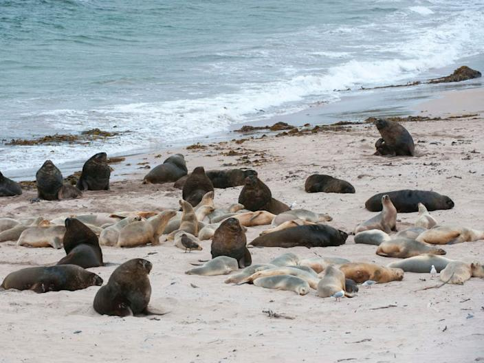 New Zealand sea lions on a beach at Enderby Island, a sub-Antarctic Island in New Zealand.