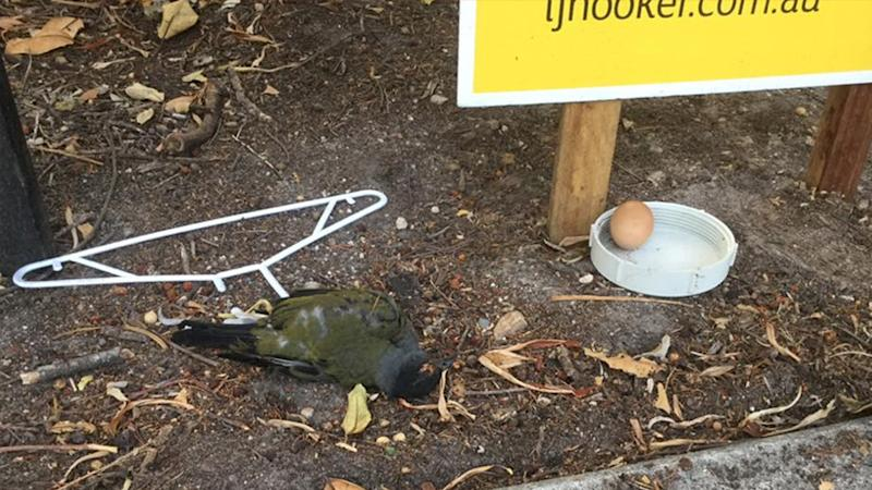 Pictured is the dead bird attached to a coat hanger that was found in Byron Bay.