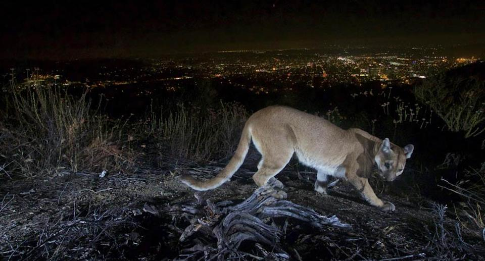 This July 10, 2016, photo shows an uncollared adult female mountain lion photographed with a motion sensor camera in the Verdugos Mountains in in Los Angeles County, Calif. Source: U.S. National Park Service via AP