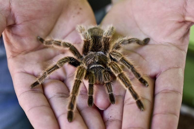 There are some 45,000 known spider species, all of them meat-eating (AFP Photo/YURI CORTEZ)