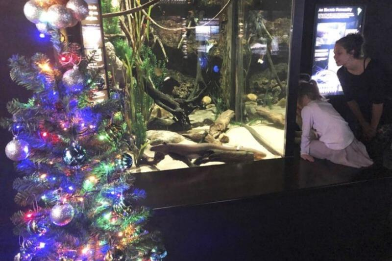 'Eelectrifying': Aquarium Uses Power from Electric Eel to Light Up Christmas Tree
