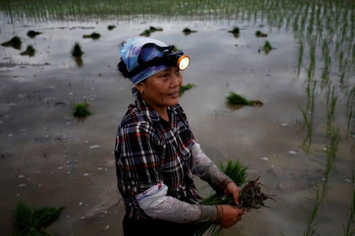 A farmer plants rice on a paddy field during early morning to avoid the heat in Hanoi