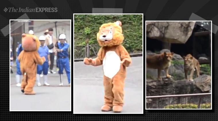 Lion drill, Japan zoo, Tobe Zoo, Ehime, zookeepers costume lion, lion costume drill, lion costume japan zoo, lion escape drill, lion escape drill japan, indian express