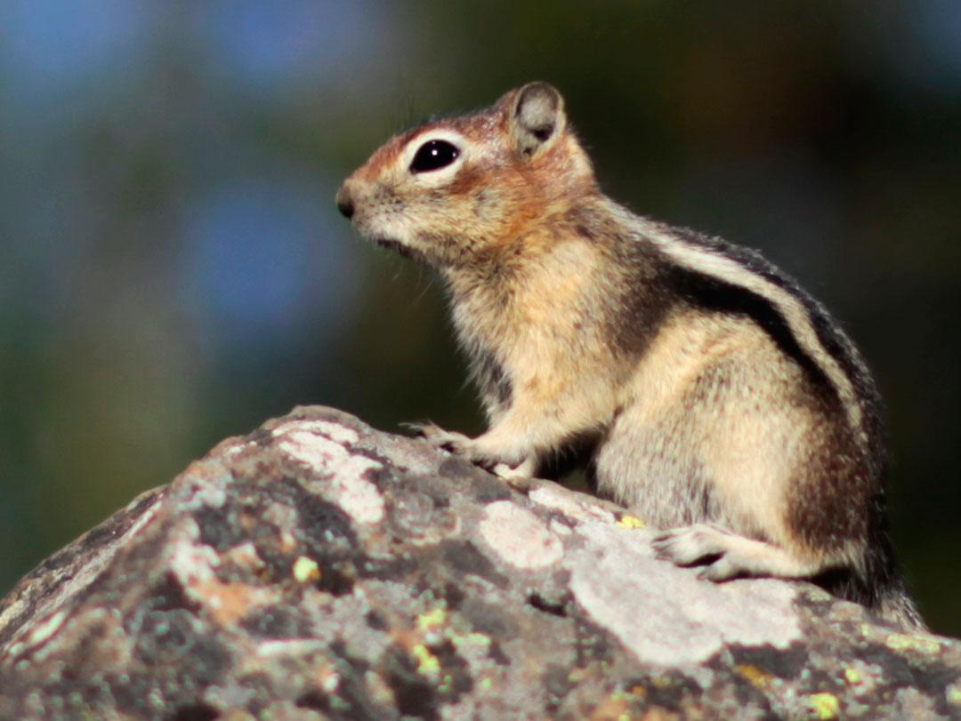 A chipmunk sits on a rock in Yellowstone National Park, Wyoming August 13, 2011. Picture taken August 13, 2011. REUTERS/Lucy Nicholson