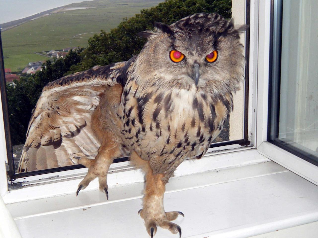 """Eyeballs"", the wild owl, was captured and taken to a sanctuary in Devon after terrorising residents in Northam.  The eagle owl attacked a poodle and gardener and was becoming a danger to children (Caters)"